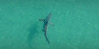 tubarão Angra dos Reis